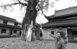 关于宁波这座城市的古树 你知道的有多少?