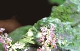 安吉发现国家濒危植物——象鼻兰