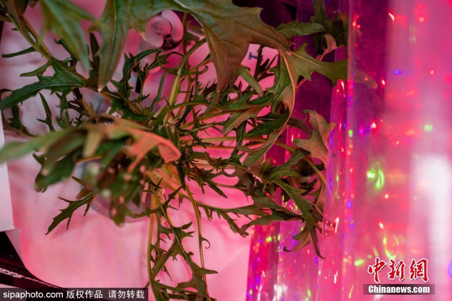 """空间站里辟菜园 """"宇宙农夫""""粉红温室内收获芥菜"""