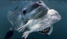 南极海豹口叼企鹅向摄影师示好