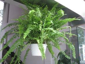 悬挂栽培的波斯顿蕨