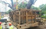 """温州一棵125岁10米高大榕树""""搬家"""""""