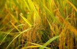 浙江公布今年稻谷最低收购价 比国家公布的每百斤高3元