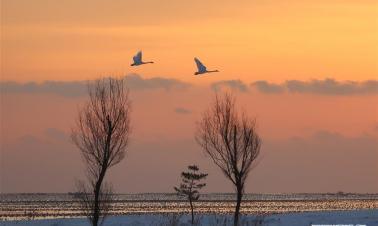 Swans flying in sky