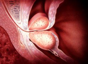 前列腺构造