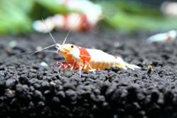 C级水晶虾