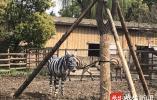 【视频】穿黑白条纹的不一定是斑马,也可能是头驴?常州淹城野生动物世界动物也过愚人节