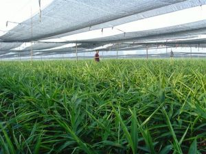 安丘大姜种植