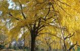 金黄成片! 五云山顶杭州最老银杏树 美不胜收
