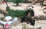 龙凤胎大熊猫迎来生日会,工作人员精心准备冰蛋糕
