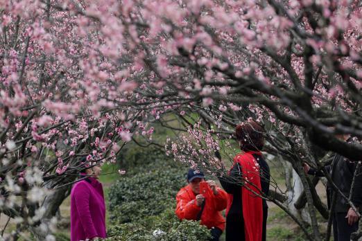 南京古林公园梅花盛放香飘四溢