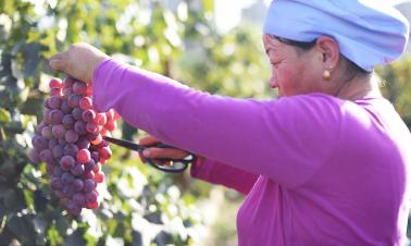 From Gobi to vineyards: Expanding wine industry in NW China